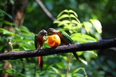 Πουλί δύο παπαγάλων στοκ εικόνες