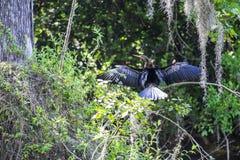 Πουλί Anhinga ή φιδιών που ξεραίνει τα φτερά του σε έναν κλάδο δέντρων Στοκ Φωτογραφίες