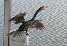 Πουλί Anhinga που ξεραίνει τα φτερά του Στοκ Εικόνα