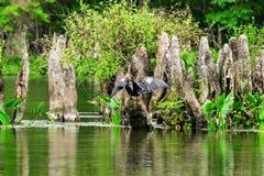 Πουλί Anhinga σε Wakulla Στοκ φωτογραφία με δικαίωμα ελεύθερης χρήσης