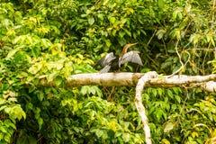 Πουλί Anhinga στην αμαζόνεια ζούγκλα Στοκ Φωτογραφία