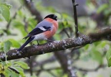 Πουλί Bullfinch Στοκ φωτογραφίες με δικαίωμα ελεύθερης χρήσης