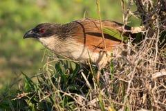 πουλί burchell το coucal s Στοκ Φωτογραφία