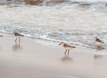Πουλί Calidris αυλητών alba Στοκ Φωτογραφίες