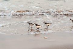 Πουλί Calidris αυλητών alba Στοκ Φωτογραφία
