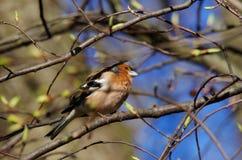 Πουλί (chaffinch) Στοκ εικόνες με δικαίωμα ελεύθερης χρήσης