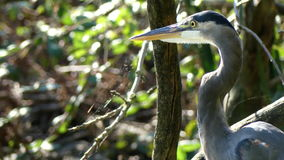 Πουλί Egregetta που στέκεται στη λίμνη απόθεμα βίντεο