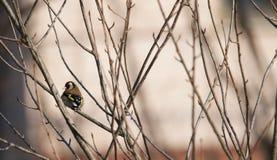 Πουλί Goldfinch Στοκ Φωτογραφίες