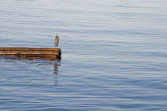 Πουλί Grebe στο ξύλο κλίσης Στοκ εικόνα με δικαίωμα ελεύθερης χρήσης