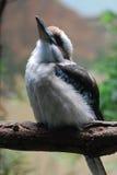 Πουλί Kookaburra που φαίνεται Upt προς τον ουρανό Στοκ Εικόνες