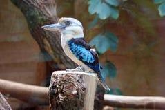 Πουλί Kookaburra Στοκ φωτογραφίες με δικαίωμα ελεύθερης χρήσης