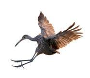Πουλί Limpkin κατά την πτήση Στοκ Φωτογραφίες
