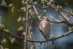 Πουλί Linnet στοκ φωτογραφίες με δικαίωμα ελεύθερης χρήσης