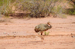 Πουλί Nandu που περπατά στην έρημο Στοκ Εικόνες
