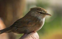 Πουλί Nightingale Στοκ Εικόνες