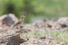 Πουλί: Paddyfield pipit Στοκ Φωτογραφία