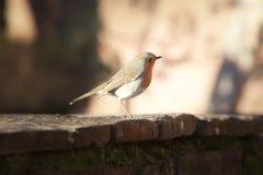 Πουλί Robin σε έναν παλαιό τοίχο στη Tuscan επαρχία Στοκ Εικόνα