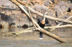 Πουλί snakebird, Anhinga αμερικανικό Στοκ φωτογραφίες με δικαίωμα ελεύθερης χρήσης
