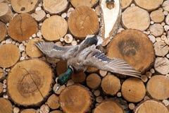 Πουλί Taxidermy Στοκ Εικόνα