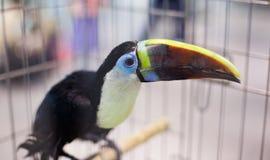 Πουλί toucan στο birdcage Στοκ Φωτογραφία