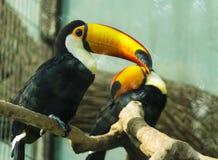 πουλί toucan Στοκ εικόνα με δικαίωμα ελεύθερης χρήσης