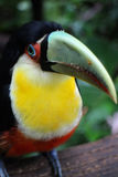 πουλί toucan Στοκ Εικόνα