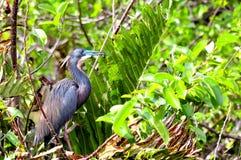 Πουλί, Tricolored, ερωδιός της Λουιζιάνας στο φτέρωμα αναπαραγωγής Στοκ Εικόνα