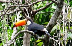 Πουλί Tucan στον κλάδο δέντρων Στοκ Εικόνες