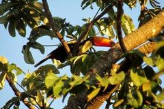 Πουλί Tucano σε έναν κλάδο δέντρων Στοκ Εικόνα
