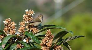 Πουλί Vireo στο δέντρο μουσμουλιών Στοκ Φωτογραφίες