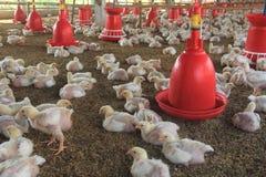 Πουλερικά αγρόκτημα-2 Στοκ Φωτογραφία