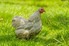 Πουλερικά - κοτόπουλα κατωφλιών Στοκ Εικόνα