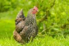 Πουλερικά - κοτόπουλα κατωφλιών Στοκ φωτογραφίες με δικαίωμα ελεύθερης χρήσης