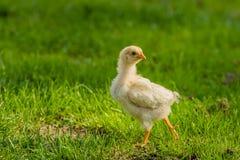 Πουλερικά - κοτόπουλα κατωφλιών Στοκ Φωτογραφίες