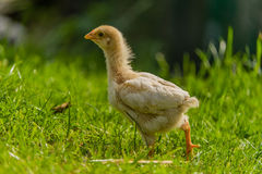 Πουλερικά - κοτόπουλα κατωφλιών Στοκ φωτογραφία με δικαίωμα ελεύθερης χρήσης