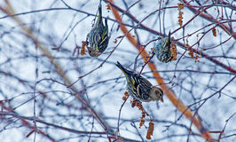 πουλιά λίγα τρία Στοκ φωτογραφίες με δικαίωμα ελεύθερης χρήσης