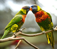Πουλιά αγάπης Στοκ Φωτογραφία