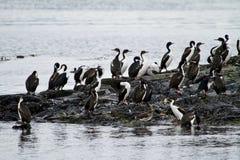 Πουλιά - αποικία κορμοράνων Στοκ εικόνες με δικαίωμα ελεύθερης χρήσης
