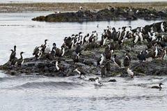 Πουλιά - αποικία κορμοράνων Στοκ Εικόνες