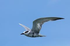 πουλιά αποκαλούμενα seagull laridae οικογενειακών γλάρων ανεπίσημα συχνά seagulls Στοκ Φωτογραφία