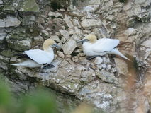 Πουλιά θάλασσας στο άδυτο πουλιών Bempton Στοκ φωτογραφία με δικαίωμα ελεύθερης χρήσης