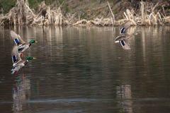 Πουλιά και ζώα στην άγρια φύση Μια καφετιά θηλυκά πάπια πρασινολαιμών και ένα τ Στοκ Φωτογραφία