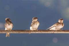 Πουλιά (καταπίνει) σε μια εγκάρσια ράβδο Στοκ εικόνα με δικαίωμα ελεύθερης χρήσης