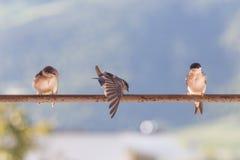 Πουλιά (καταπίνει) σε μια εγκάρσια ράβδο Στοκ φωτογραφία με δικαίωμα ελεύθερης χρήσης