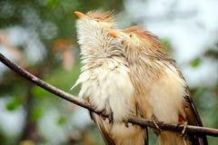 Πουλιά κούκων Guira Στοκ εικόνα με δικαίωμα ελεύθερης χρήσης