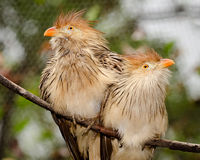 Πουλιά κούκων Guira Στοκ φωτογραφία με δικαίωμα ελεύθερης χρήσης