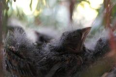 Πουλιά μωρών στη φωτογραφία άνοιξη φωλιών Στοκ Εικόνες