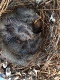 πουλιά μωρών Στοκ Φωτογραφία