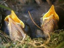 πουλιά νεογέννητα Στοκ εικόνες με δικαίωμα ελεύθερης χρήσης