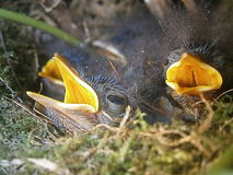 πουλιά νεογέννητα Στοκ εικόνα με δικαίωμα ελεύθερης χρήσης